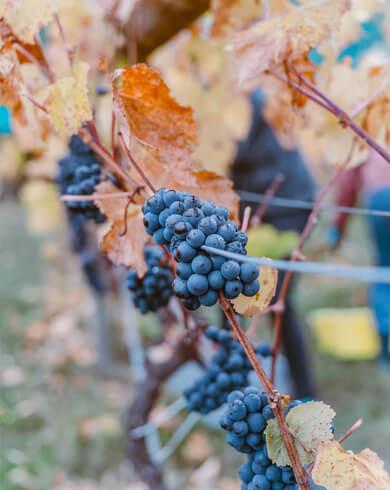 Frankovka modrá ľadové víno
