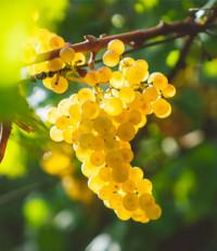 Odroda Chardonnay Biele hrozno.